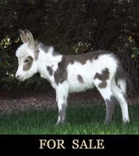 MJB Miniature Donkeys in Colorado